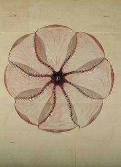 Octopus, 1838.