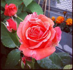 Rose prinsesse Marie