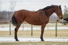 Berra--2008, Gelding, 16.1 hh,Bay, Thoroughbred. One of the kindest horses that you will meet and a horse people love to be around, Berra had been with only one owner prior to coming to us, so he has been a little lost being away from the life he knew. He is desperate to have his one person again because he is definitely not a brave horse on his own.  Berra has the movement to be a nice Dressage horse and that would probably be the best discipline for him.