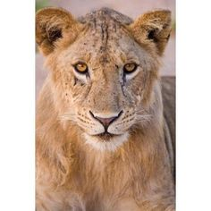 Africa Tanzania Young lion in Tarangire NP Canvas Art - Ralph H Bendjebar DanitaDelimont (11 x 17)