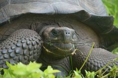 Big News! A new species of Galapagos Tortoise was discovered!