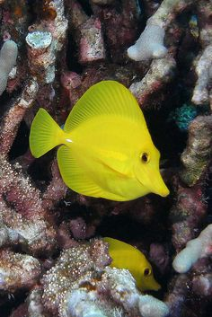 Yellow Tang fish, saw these a lot in Kona but also a few on the other islands as well. #onlyinhawaii