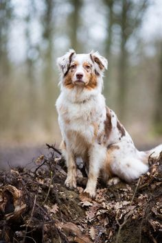 Australian Shepherd the kind of dogs i had growing up Australian Shepherd Puppies, Aussie Puppies, Cute Dogs And Puppies, I Love Dogs, Pet Dogs, Doggies, Red Merle Australian Shepherd, Aussie Shepherd, German Shepherds