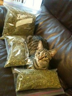 Cat..... with weed. hahaha #Bong#Medical#Weed#Kush#THC#Pipe#Pot#Pipe#Waterpipe#Teagardins#SmokeShop 8531 Santa Monica Blvd West Hollywood, CA 90069 - Call or stop by anytime. UPDATE: Now ANYONE can call our Drug and Drama Helpline Free at 310-855-9168. Teagardins.com