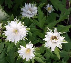 Anemone nemorosa 'Bracteata Pleniflora' - Farmyard Nurseries out of stock