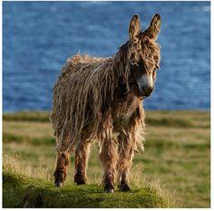 A wild donkey in Ireland