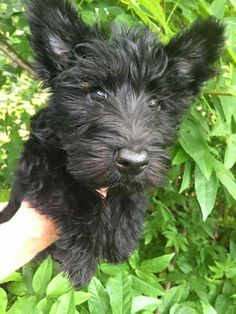 Scottish terrier puppy - Tap the pin for the most adorable pawtastic fur baby apparel! You'll love the dog clothes and cat clothes! <3