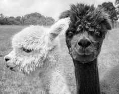 Animal Photograph, Alpaca Print or Canvas Gallery Wrap, Animal, Black & White Photography, Monochrom Alpacas, Animals And Pets, Baby Animals, Cute Animals, Monochromatic Art, Monochrome, Amazing Animals, Thing 1, Black And White Pictures
