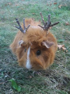 honeybee the elk guinea pig
