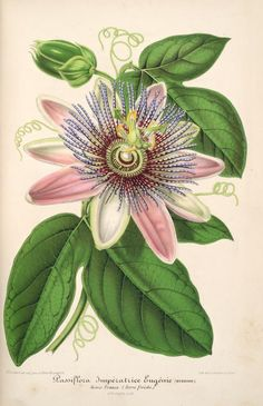 Passiflora Imperatrice Eugenie. Plate from 'L'Illustration Horticole' (1858) by Charles Antoine Lemaire. Published by  Ga...