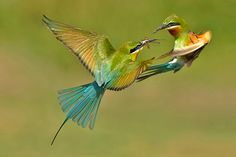 Blue-tailed bee-eater, Merops philippinus
