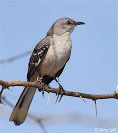 mocking bird - They love to sing, and mock.