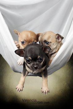 Chihuahua Puppies...