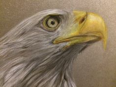 Bald eagle coloured pencil drawing