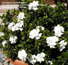 Gardenia Veitchii blooming during unusually warm May