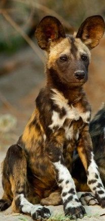 African Wild Dog - Le chien sauvage africain (Lycaon pictus) est un canidé… Nature Animals, Baby Animals, Funny Animals, Cute Animals, Bizarre Animals, Safari Animals, Exotic Animals, Fierce Animals, Wildlife Safari