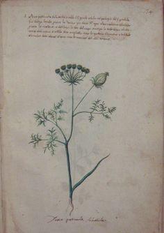 MS 336 Erbarioo Medicinale Dauco pastinacha