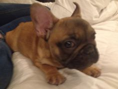 This is our French bulldog he's really cute repin if you think so too or like if you think so