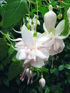 "Fuchsia ""Exton Beauty"""