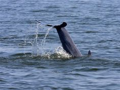 OBX - dolphin cruise, guaranteed to see dolphins!