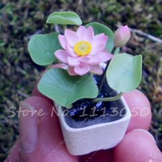 2 Pcs Hydroponic Flowers Small Wter Lily Seeds Mini Lotus Seeds Bonsai Seeds Set Hydrophyte Bonsai Seeds, Garden Supplies, Hydroponics, Lotus, Succulents, Lily, Flowers, Plants, Succulent Plants