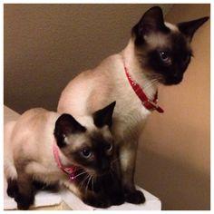 Isabella & Jasmine..siamese kittens    Looks like my Lelani and Kehei
