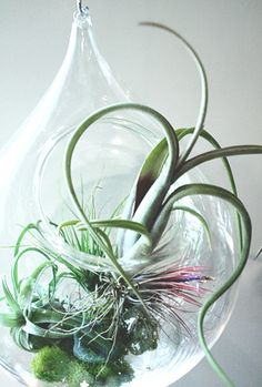 Prior to 1974, the US had never seen the likes of a Tillandsia air plant. These fascinating sea-like creatures are all the rage these days and I am convinced I will never tire of their magic.