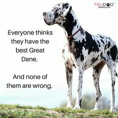 """Excellent """"great dane puppies"""" info is offered on our website. Check it out and you will not be sorry you did. Cute Dog Costumes, Dog Halloween Costumes, Weimaraner, I Love Dogs, Cute Dogs, Awesome Dogs, Dane Puppies, Doggies, Great Danes"""