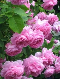 Biography of Alister Clark Roses Australia Even though Australia has had many renowned flower breeders, very few have managed to get to the same level as Alister Clark. While the majority of rose breeders are interested in colour, type or scent of the flower, Alister Clark was mainly bent on cashing in on the moderate read more