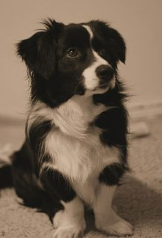 Borgi (border collie & corgi). Oh my it just looks like a mini border collie... soooo cute!