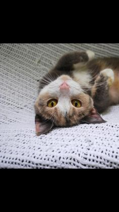 Hi my name is Catelyn!  I'm an outgoing little gal with a huge personality!  I like to be on the move and explore everything around me.  I like to meet new people, too, and will come up to people once they come into the cat room to visit.  I would love to find my forever home, so stop out and meet me today!