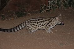 Spotted genet.  Photo Neil Munro.