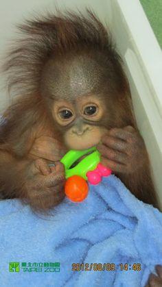 Niu-li, a Bornean Orangutan, was born on April 11, 2012