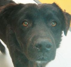 *COMET-ID#A671552    Shelter staff named me COMET.    I am a male, black Labrador Retriever.    The shelter staff think I am about 3 years old.    I have been at the shelter since Oct 29, 2012.