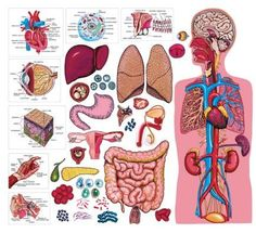 Human Body Systems, Lesson Plans, Worksheets, Printables - Goes GREAT with cycle 3 science Science Lessons, Science Education, Science For Kids, Science Activities, Science Projects, Life Science, Science Facts, Teaching Science, Biology Facts