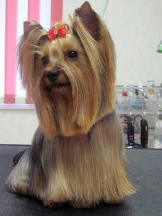 Yorkie Front Facing Long Haired Cut