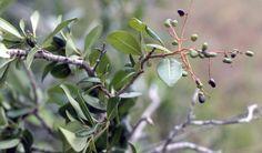 Apodytes dimidiata (White pear) - Warthog Lodge
