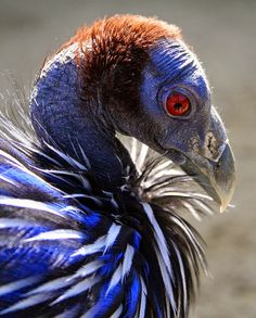 Vulturine Guinea Fowl | Vulturine Guineafowl closeup - notice the bald head which resembles ...