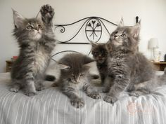 4 Maine Coon Kittens