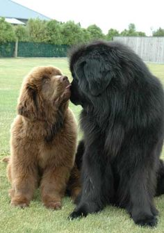 Newfoundlands (newfies) My favorite breed, such gentle, loving, giants! Miss mine so badly. He was beautiful, shiny black hair with curls. R.I.P. Bear, you are loved, always♥