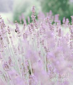 #ArtforSale #homedecor #interiordesign #lavender #artcollector #floral #wallart #flowerlovers #summer#dormdecor #backtoschool #collegedecor