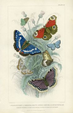 Peacock Butterfly Camberwell Beauty Purple by MarcadeVintagePrints, Peacock Butterfly, Butterfly Painting, Vintage Butterfly, Butterfly Print, Butterfly Fashion, Butterfly Quotes, Watercolor Artwork, Watercolor Animals, Animals With Antlers