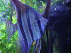 Gorgeous Blue Angelfish