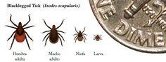 La #Enfermedad de #Lyme se trasmite a los seres humanos por una garrapata diminuta, del tamaño de una cabeza de alfiler, también conocida como garrapata de patas negras o garrapata del ciervo. #Garrapatas #Zoonótica