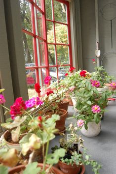 Bring in Some Brightness! How to Overwinter Geraniums Overwintering geraniums is a great way to bring fresh florals inside during the colder months. Learn all about how to overwinter geraniums here! Balcony Plants, Indoor Plants, Overwintering Geraniums, Beautiful Gardens, Beautiful Flowers, Red Geraniums, Inside Plants, Little Gardens, Landscaping Tips