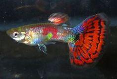 Pair Cobra Red Male Guppies Live Freshwater Aquarium Fish