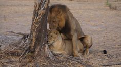 Image result for lions in love