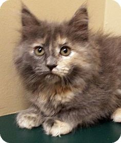Channahon, IL - Domestic Longhair. Meet Tinsel, a kitten for adoption. http://www.adoptapet.com/pet/15032650-channahon-illinois-kitten
