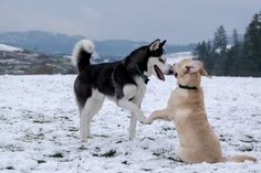 Pug, Chihuahua, Corgi, Dog Photos, Dog Pictures, Le Plus Grand Chien, Meds For Dogs, White Siberian Husky, Huge Dogs