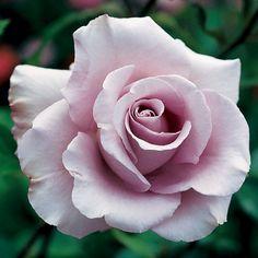 Lagerfeld Grandiflora Rose - Bareroot at Jackson and Perkins